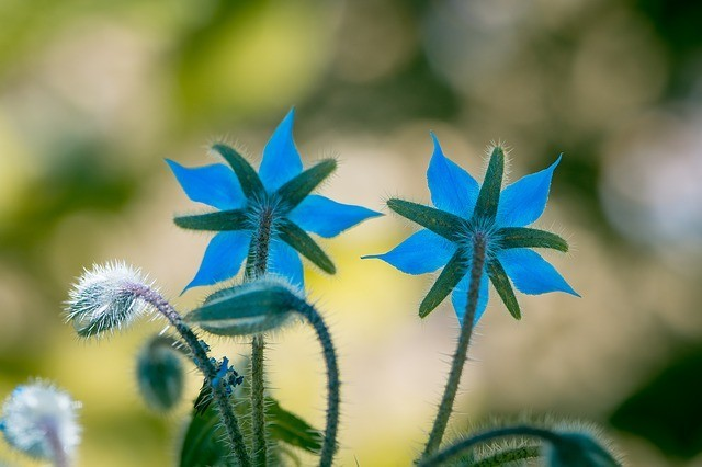 8 Amazing Borage Oil Benefits! The GLA Champion!