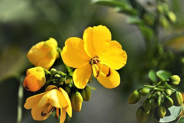What Is Cassia Obovata and How to Use It for Your Natural Hair Care?