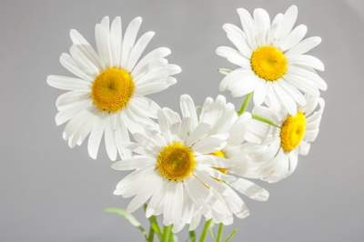 8 Amazing Chamomile Oil Uses For Your Skin