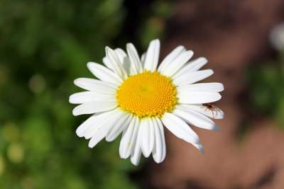 What is chamomile oil?