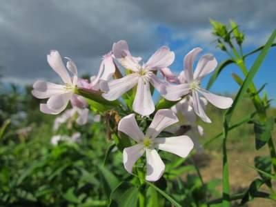 Common Soapwort benefits