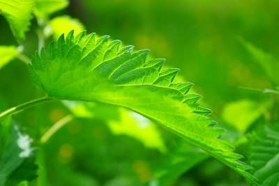 5 stinging nettle benefits