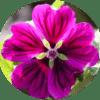 Common Mallow_Malva Sylvestris-min