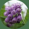 comfrey flower allantoin