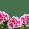 geranium_zdravec