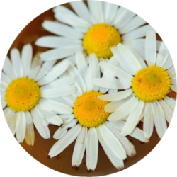 chamomile-crop-removebg-preview